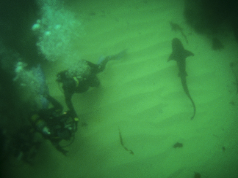 Scuba diving with cow sharks in Cape Town